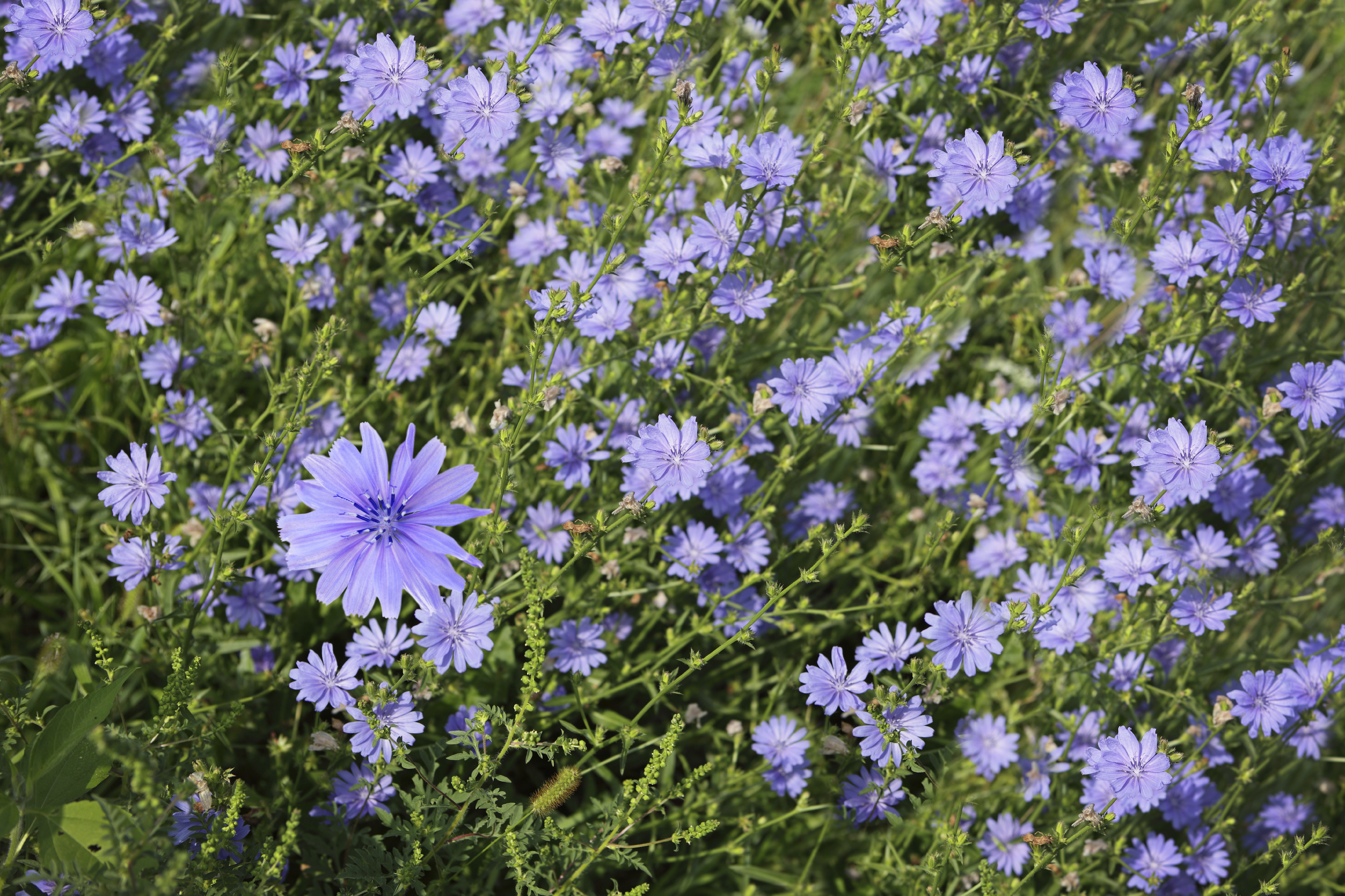 Blue cichorium chicory wild flowers on the field